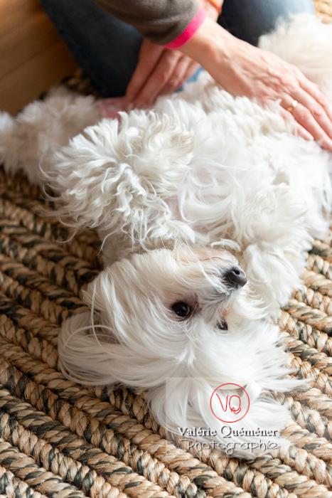 Petit chien blanc Coton Tulear femelle allongée sur le dos - Réf : VQA1-11-0351 (Q3)