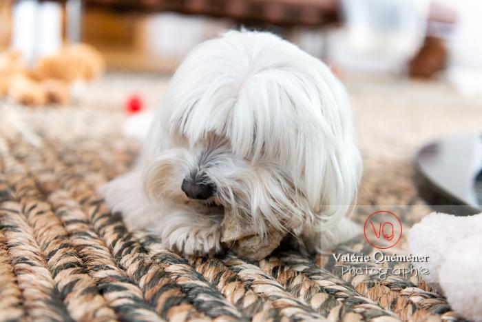 Portrait d'un Coton Tulear rongeant un os sur un tapis - Réf : VQA1-11-0363 (Q3)