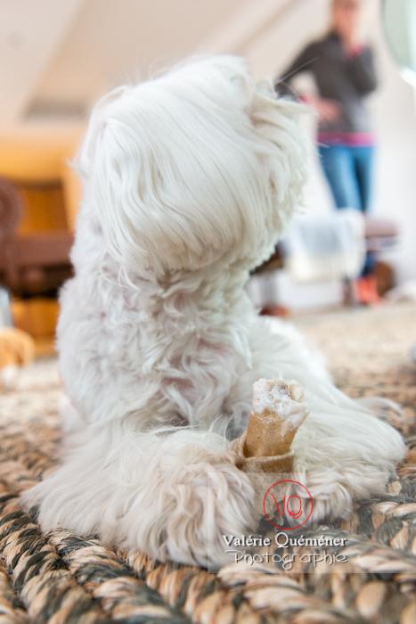 Petit chien blanc Coton Tulear allongé sur un tapis avec son os - Réf : VQA1-11-0369 (Q3)