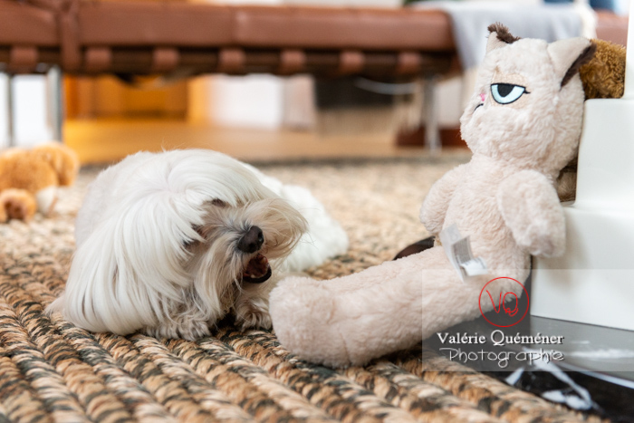 Coton Tulear rongeant son os à côté d'une peluche 'grumpy cat' - Réf : VQA1-11-0371 (Q3)