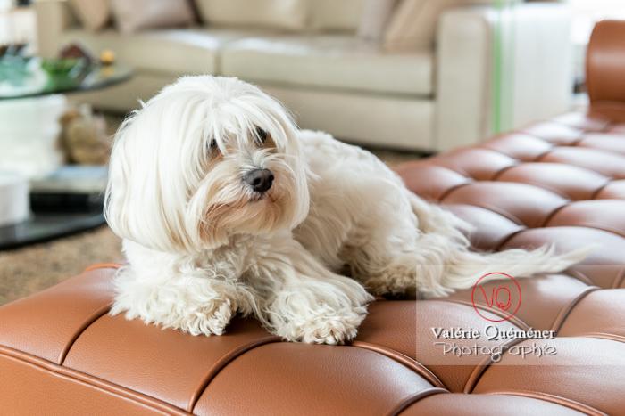 Coton Tulear allongé sur un canapé - Réf : VQA1-11-0376 (Q3)