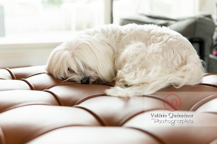 Petit chien blanc Coton Tulear femelle dormant sur un canapé - Réf : VQA1-11-0377 (Q3)