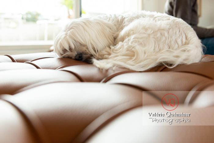 Coton Tulear dormant sur un canapé - Réf : VQA1-11-0381 (Q3)