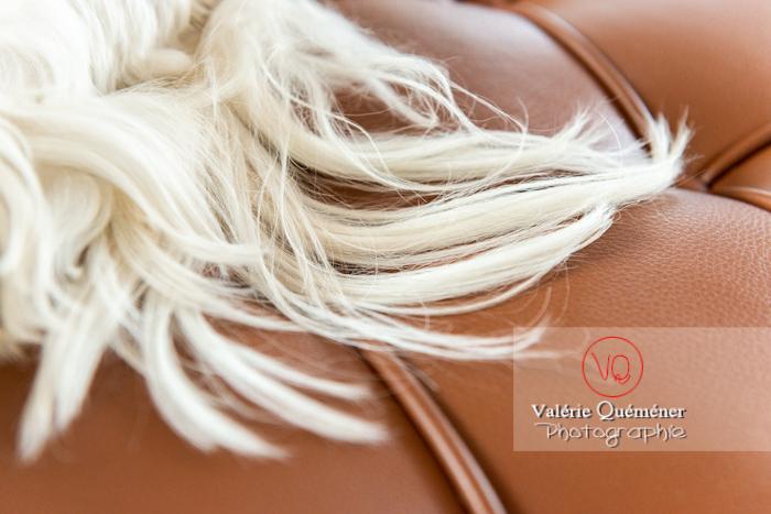 Détail poils blancs d'un Coton Tulear allongé sur un canapé marron - Réf : VQA1-11-0382 (Q3)