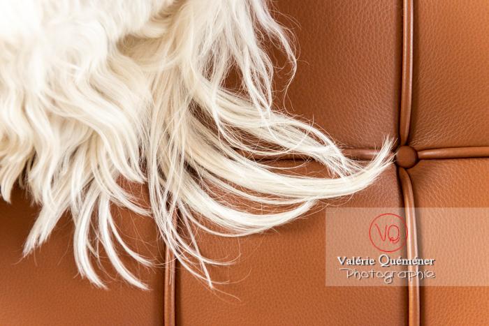 Détail poils blancs d'un Coton Tulear allongé sur un canapé marron - Réf : VQA1-11-0383 (Q3)