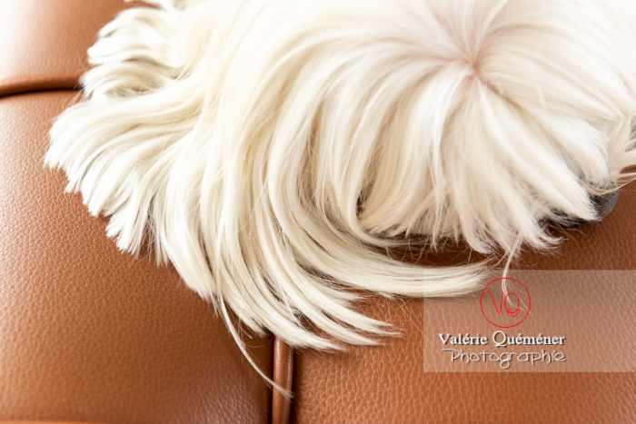 Détail poils blancs d'un Coton Tulear allongé sur un canapé marron - Réf : VQA1-11-0385 (Q3)