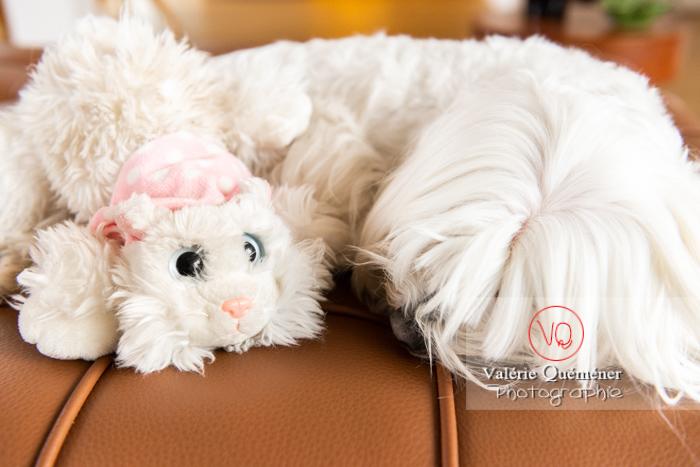 Petit chien blanc Coton Tulear dormant avec une peluche chat sur un canapé marron - Réf : VQA1-11-0388 (Q3)