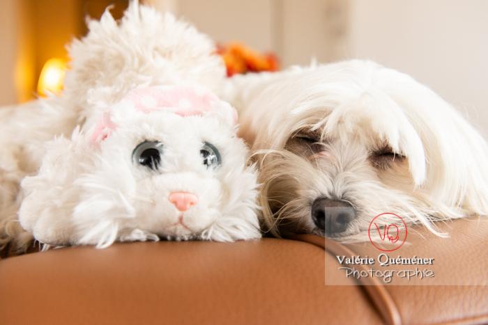 Petit chien blanc Coton Tulear dormant avec une peluche chat sur un canapé marron - Réf : VQA1-11-0390 (Q3)
