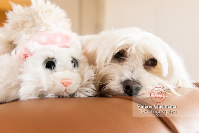 Petit chien blanc Coton Tulear à côté d'un peluche chat sur un canapé marron - Réf : VQA1-11-0391 (Q3)