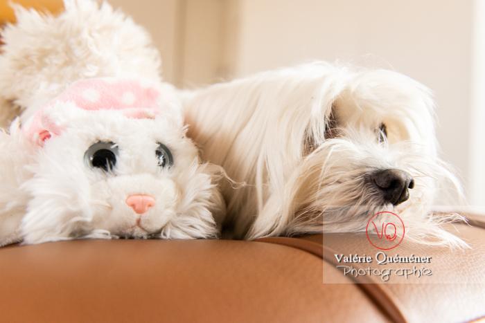 Coton Tulear à côté d'une peluche chat sur un canapé - Réf : VQA1-11-0392 (Q3)