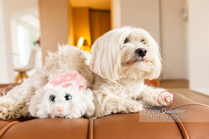 Petit chien blanc Coton Tulear à côté d'un peluche chat sur un canapé marron - Réf : VQA1-11-0394 (Q3)