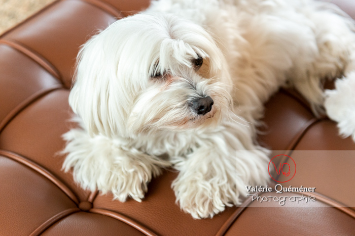 Coton Tulear allongé sur un canapé - Réf : VQA1-11-0399 (Q3)