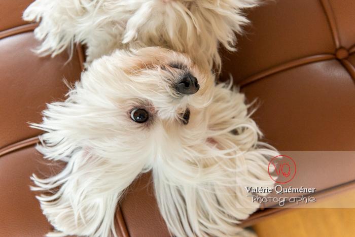 Portrait d'un petit chien blanc Coton Tulear femelle allongée sur le dos - Réf : VQA1-11-0406 (Q3)