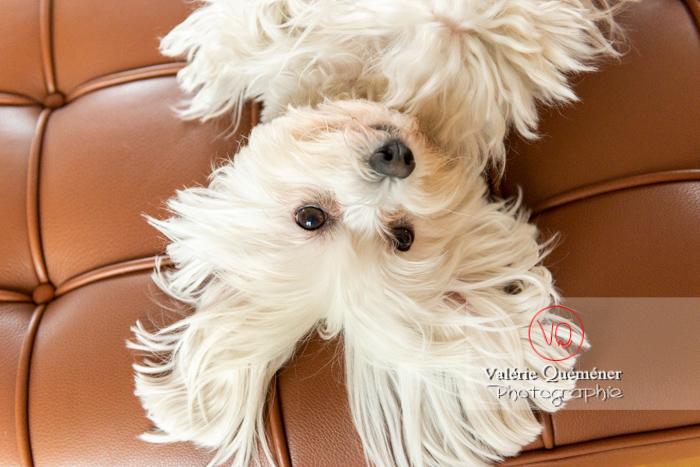 Portrait d'un Coton Tulear allongé sur le dos sur un canapé - Réf : VQA1-11-0407 (Q3)