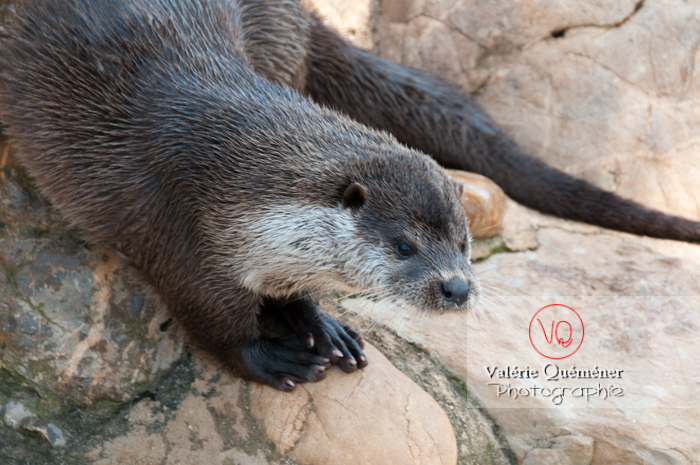 Loutre d'Europe / Zoo de Montpellier - Réf : VQA1-14-0020 (Q2)