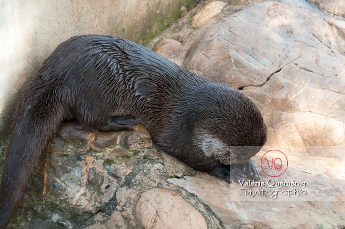 Loutre d'Europe / Zoo de Montpellier - Réf : VQA1-14-0022 (Q2)