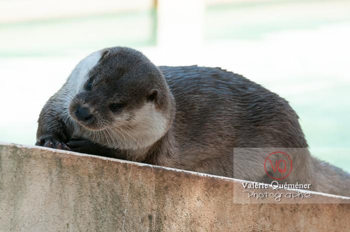 Loutre d'Europe / Zoo de Montpellier - Réf : VQA1-14-0028 (Q2)