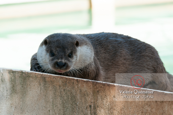 Loutre d'Europe / Zoo de Montpellier - Réf : VQA1-14-0031 (Q2)