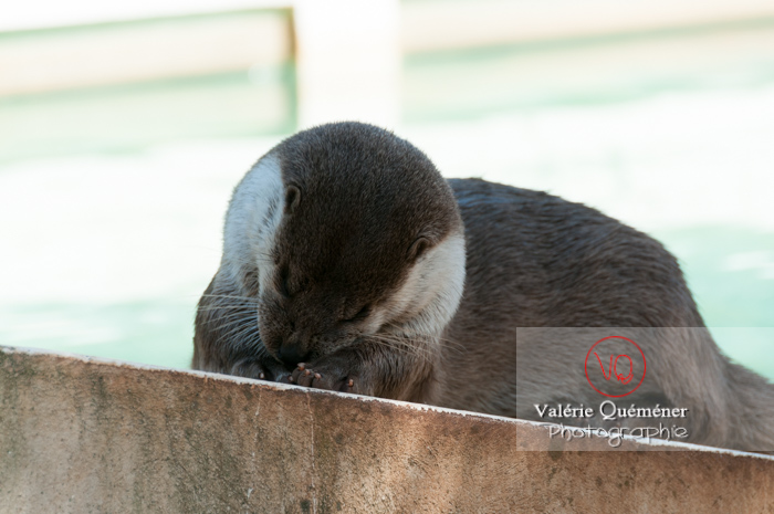 Loutre d'Europe / Zoo de Montpellier - Réf : VQA1-14-0033 (Q2)