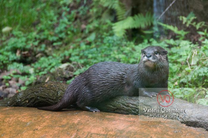 Loutre cendrée / Zoo de Trégomeur - Réf : VQA1-14-0040 (Q2)