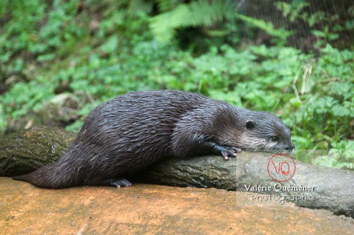 Loutre cendrée / Zoo de Trégomeur - Réf : VQA1-14-0041 (Q2)