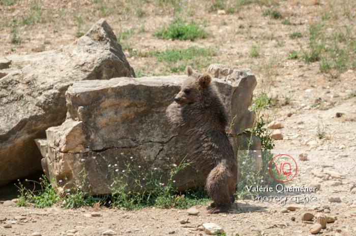 Ourson brun de Sibérie / Zoo de Montpellier / Occitanie - Réf : VQA1-19-0010 (Q2)