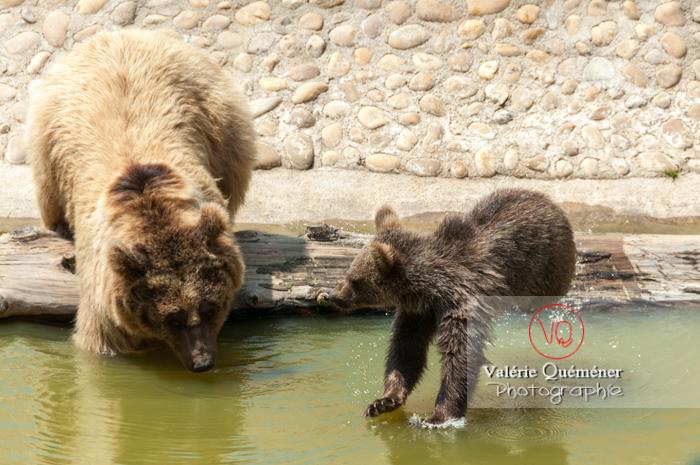 Ours brun de Sibérie et son ourson / Zoo de Montpellier / Occitanie - Réf : VQA1-19-0011 (Q2)