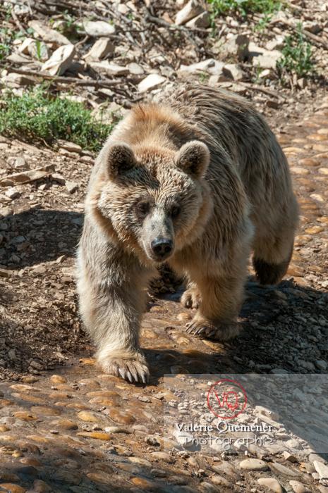 Ours brun de Sibérie / Zoo de Montpellier / Occitanie - Réf : VQA1-19-0017 (Q2)