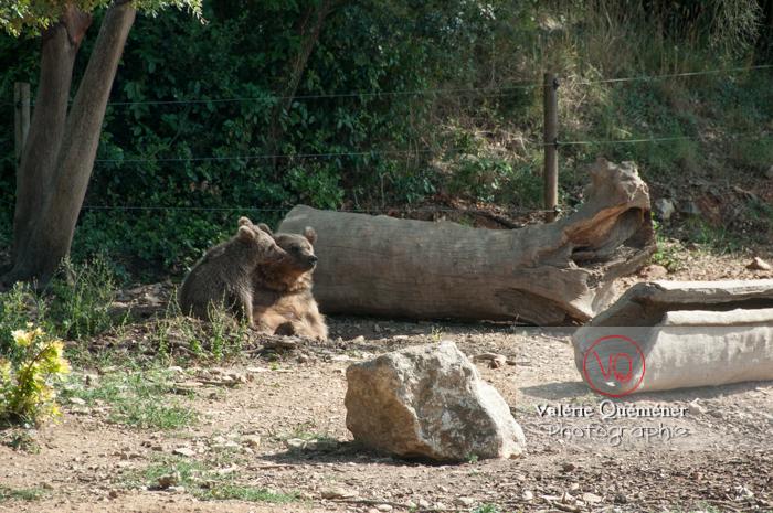 Ours brun de Sibérie et son ourson / Zoo de Montpellier / Occitanie - Réf : VQA1-19-0019 (Q2)