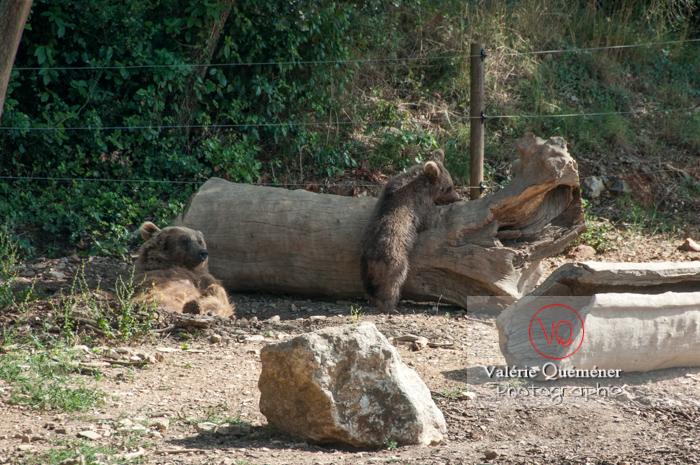Ours brun de Sibérie et son ourson / Zoo de Montpellier / Occitanie - Réf : VQA1-19-0020 (Q2)