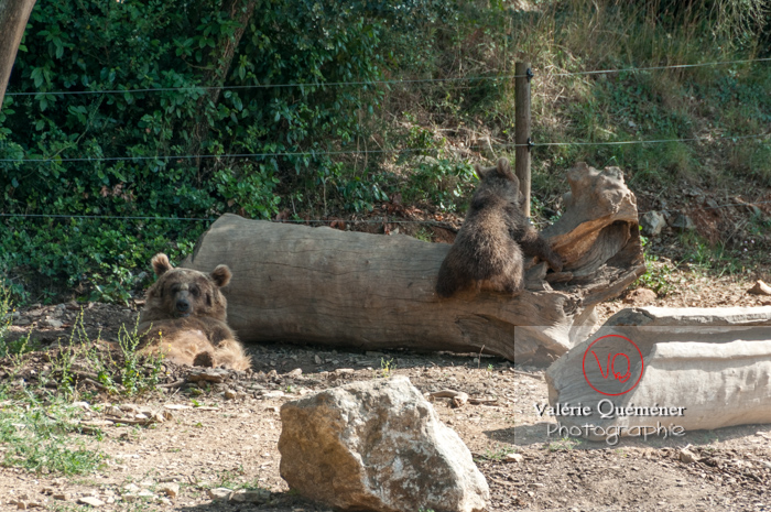 Ours brun de Sibérie et son ourson / Zoo de Montpellier / Occitanie - Réf : VQA1-19-0021 (Q2)