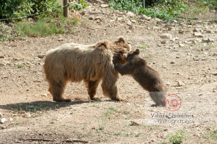 Ours brun de Sibérie et son ourson / Zoo de Montpellier / Occitanie - Réf : VQA1-19-0024 (Q2)