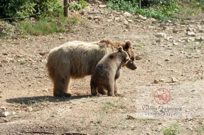 Ours brun de Sibérie et son ourson / Zoo de Montpellier / Occitanie - Réf : VQA1-19-0025 (Q2)