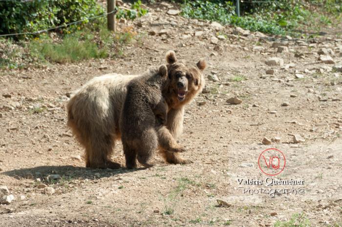 Ours brun de Sibérie et son ourson / Zoo de Montpellier / Occitanie - Réf : VQA1-19-0027 (Q2)