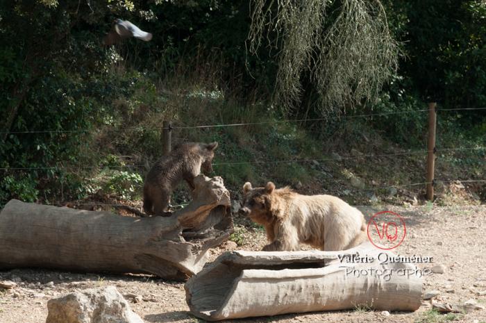 Ours brun de Sibérie et son ourson / Zoo de Montpellier / Occitanie - Réf : VQA1-19-0028 (Q2)