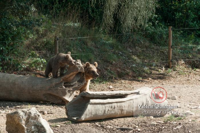 Ours brun de Sibérie et son ourson / Zoo de Montpellier / Occitanie - Réf : VQA1-19-0030 (Q2)