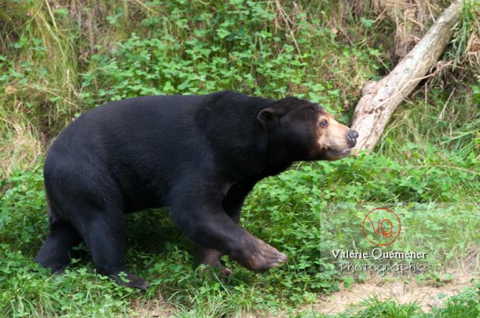 Ours malais / Zoo de Trégomeur / Bretagne - Réf : VQA1-19-0034 (Q2)