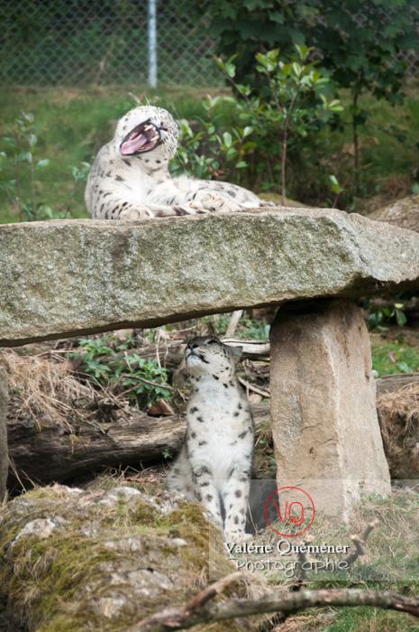 Panthères des neiges / Zoo de Pont-Scorff / Bretagne - Réf : VQA1-21-0012 (Q1)