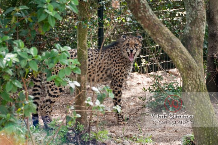 Guépard / Zoo de Montpellier / Occitanie - Réf : VQA1-22-0011 (Q2)