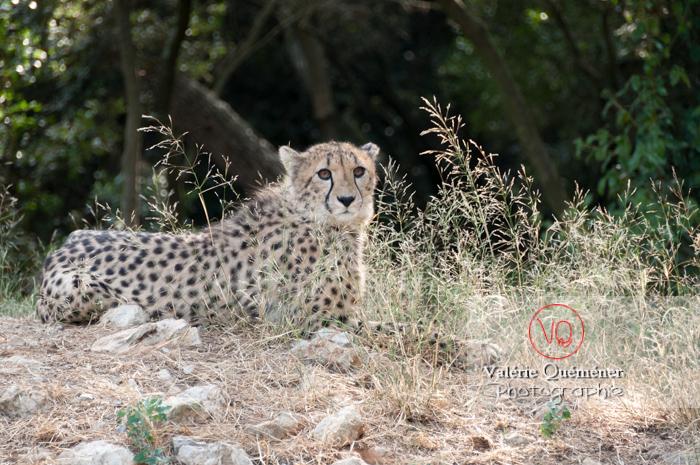 Guépard / Zoo de Montpellier / Occitanie - Réf : VQA1-22-0018 (Q2)