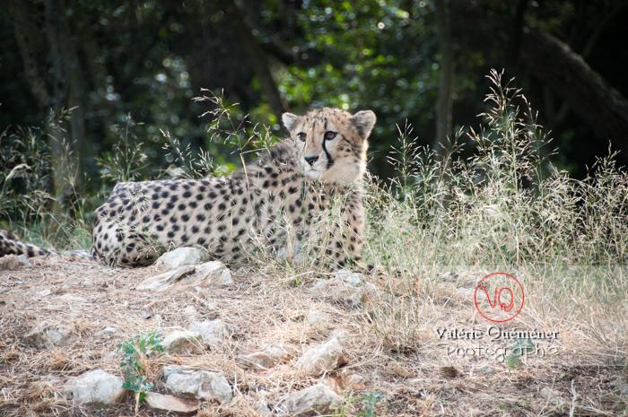 Guépard / Zoo de Montpellier / Occitanie - Réf : VQA1-22-0021 (Q2)