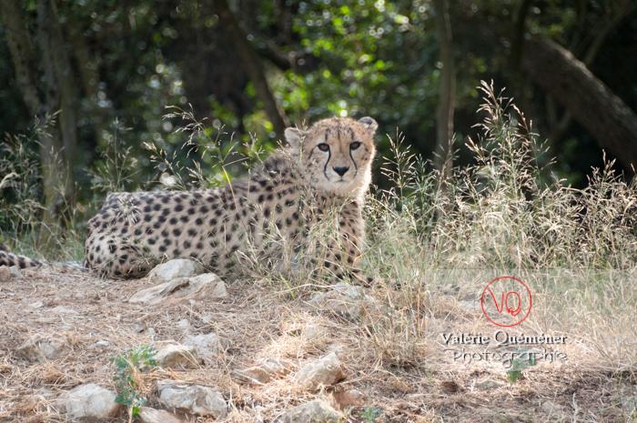 Guépard / Zoo de Montpellier / Occitanie - Réf : VQA1-22-0022 (Q2)