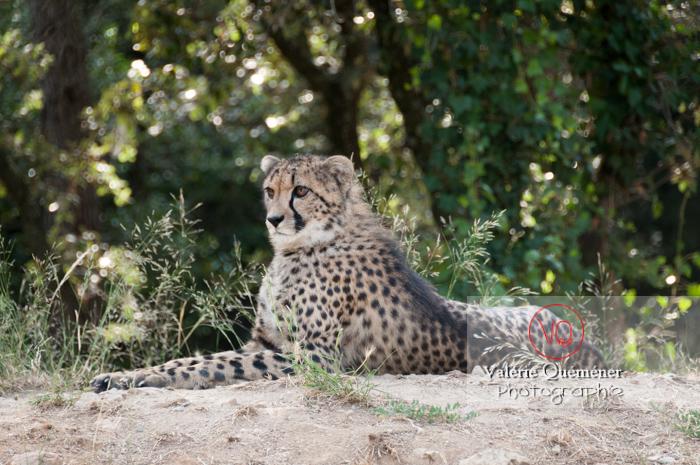 Guépard / Zoo de Montpellier / Occitanie - Réf : VQA1-22-0024 (Q2)