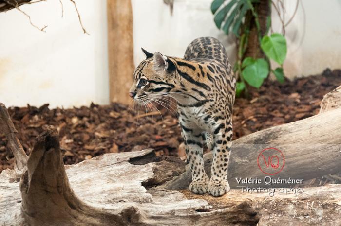 Oncille / Zoo de Montpellier / Occitanie - Réf : VQA1-22-0027 (Q2)