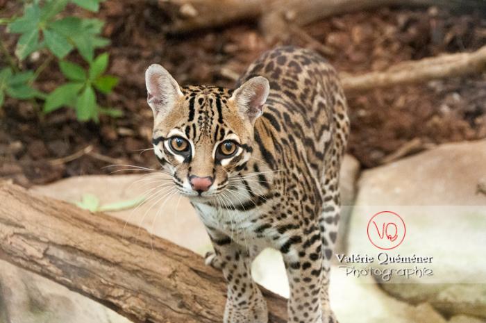 Oncille / Zoo de Montpellier / Occitanie - Réf : VQA1-22-0031 (Q2)