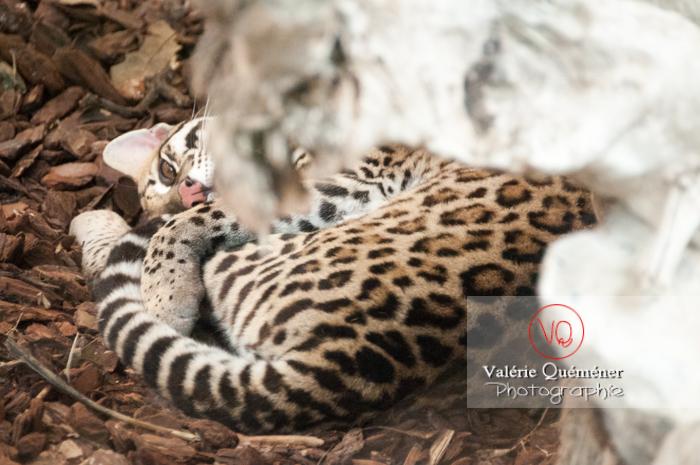 Oncille / Zoo de Montpellier / Occitanie - Réf : VQA1-22-0034 (Q2)