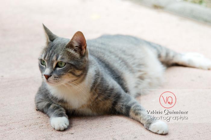 Chat domestique tigré allongé - Réf : VQA1-24-0017 (Q1)