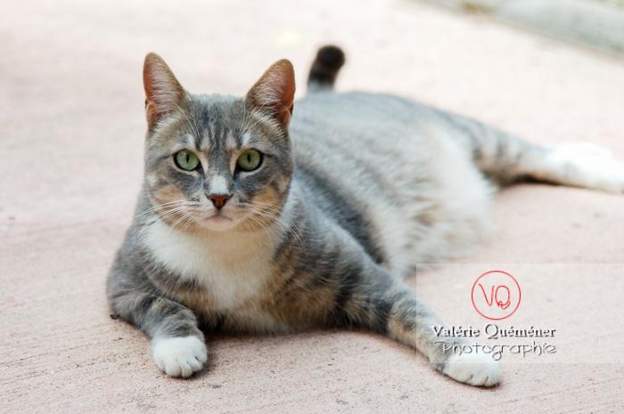Chat domestique tigré allongé - Réf : VQA1-24-0018 (Q1)
