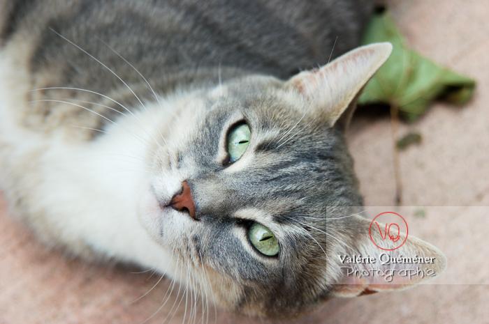 Portrait de chat domestique tigré allongé - Réf : VQA1-24-0019 (Q1)