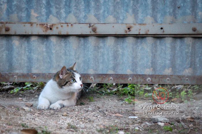 Chat domestique tigré se glissant sous un potail - Réf : VQA1-24-0021 (Q1)